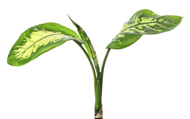 白い背景に分離された白い斑点と縞模様を含むディーフェンバキア(ダム杖)の観葉植物の葉。熱帯常緑観葉植物の葉。