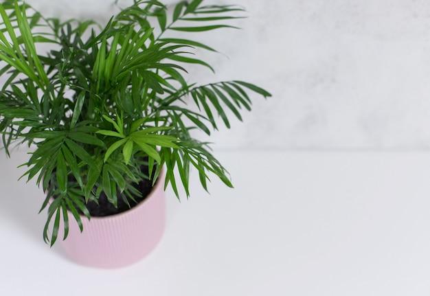 白地、平面図、コピースペースにピンクの植木鉢で観葉植物ヤシチャメドレア。家の装飾の概念。