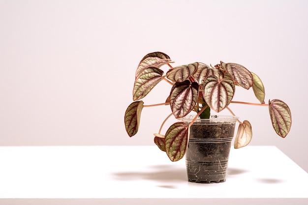 Комнатное растение peperomia piccolo banda в горшке с листвой на фоне природы