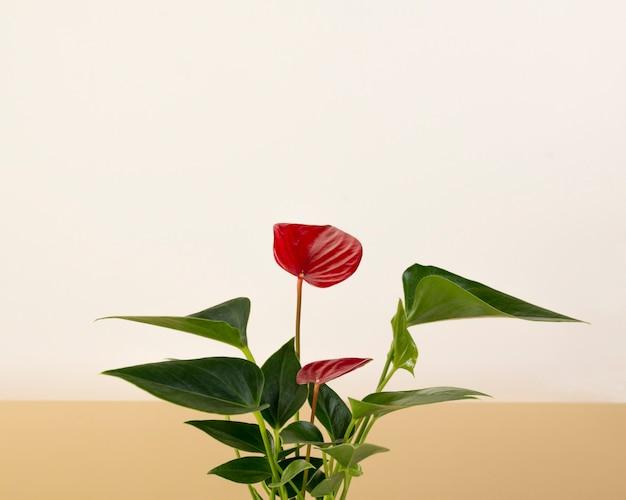 二色の白とベージュの背景に観葉植物の赤いアンスリウムandreanum。