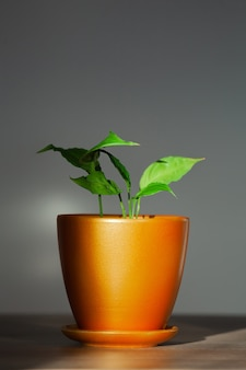 屋内のセラミックポットの観葉植物スパティフィラム植物