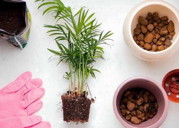Концепция пересадки комнатных растений. хамэдорея на белом фоне. вид сверху