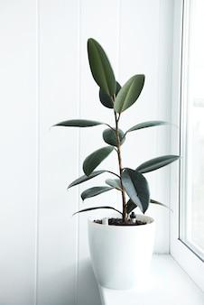 냄비에 ficus 식물이 있는 관엽 식물, ficus elastica burgundy 또는 고무 식물