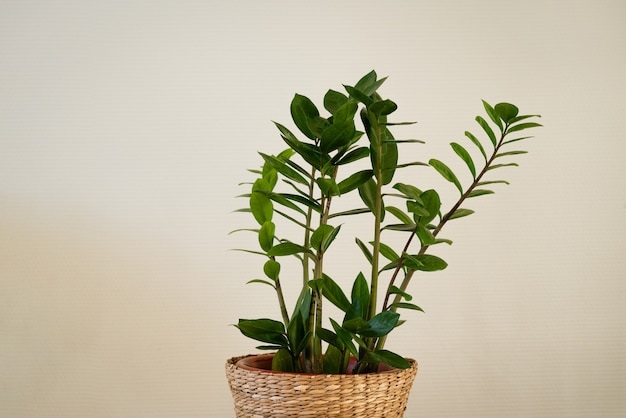 Houseplant with green leaves in a straw flowerpot against the background of a light wall