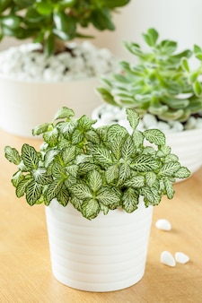 Houseplants fittonia albivenis, crassula ovata, echeveria in white pots
