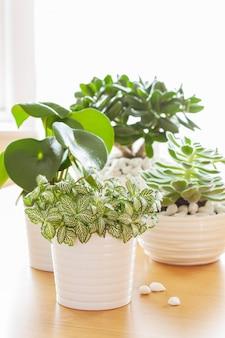 Houseplants fittonia albivenis, peperomia, crassula ovata, echeveria