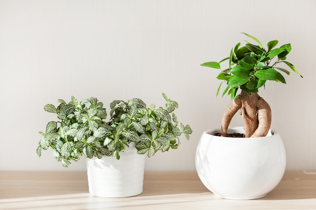 Houseplants fittonia and ficus microcarpa ginseng in white flowerpot