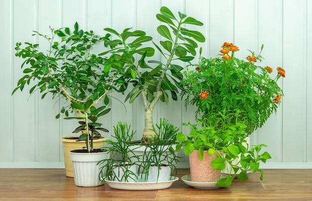 Комнатные растения в цветочных горшках на деревянном полу