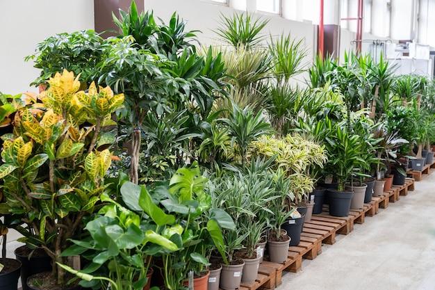 花市場で販売されているプラスチック製の鉢植えの観葉植物、または温室内のさまざまな屋内植物