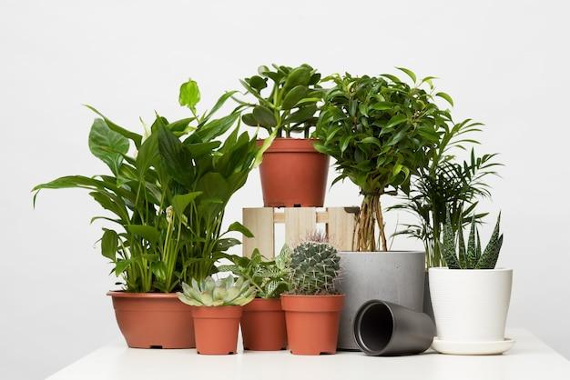 空白の灰色の背景に分離された鉢植えの観葉植物