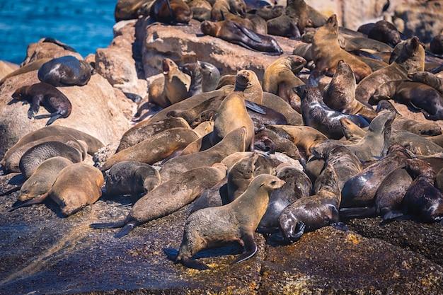 Тюлени на острове тюленей hout bay в кейптауне, южная африка