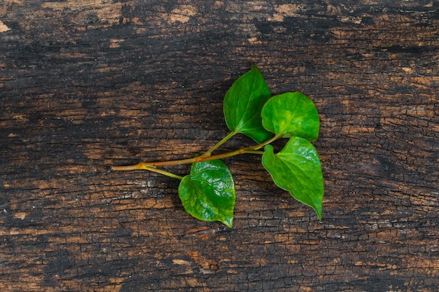 Houttuynia cordata fish plant or plu kaow vegetable with fish smell herb asian healthy food