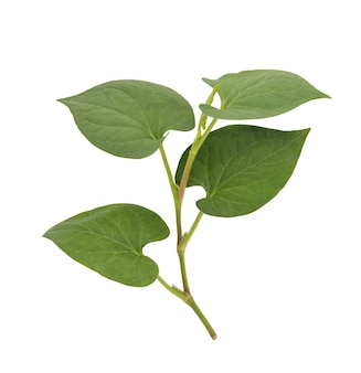 Houttuynia cordata or plu kaow green leaves isolated on white background with clipping.