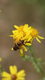 黄色の花のハナアブ