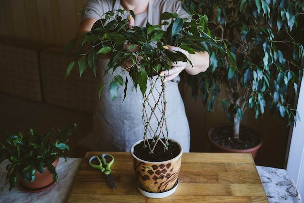 수양 무화과 식물 줄기 방법 및 집에서 ficus benjamina 직조 패턴을 짜는 방법