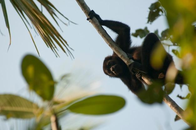 Howler monkey resting on a vine