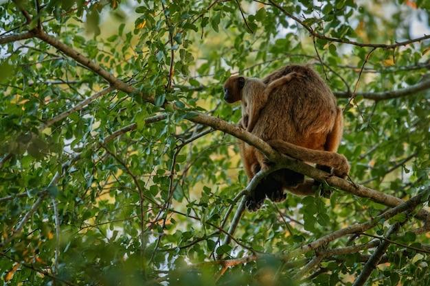Scimmie urlatrici davvero in alto su un albero gigante nella giungla brasiliana