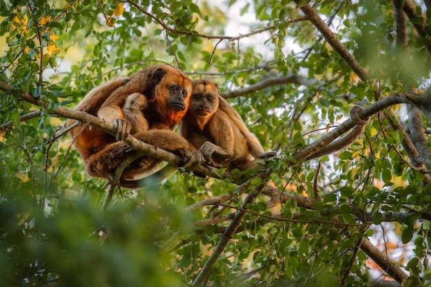 ブラジルのジャングルの巨大な木の上で本当に高いホエザル
