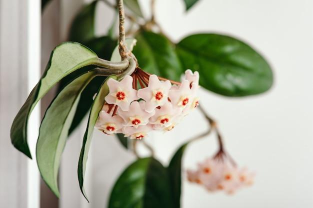 白の繊細なhoya花の束