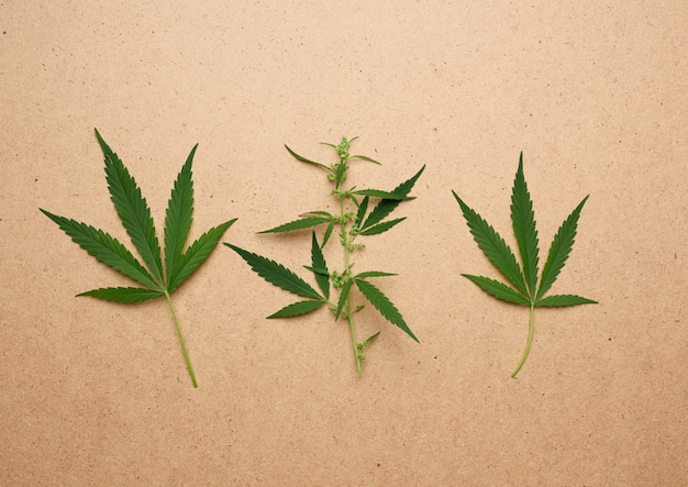 Hree green leaves of hemp on a brown background