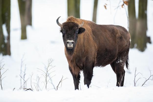 Огромный взрослый бизон стоит в заснеженном лесу зимой
