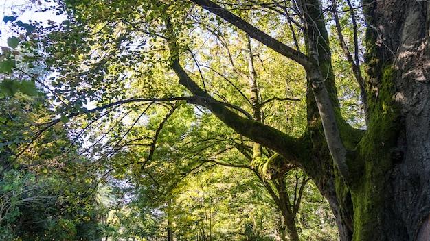 Огромное древнее дерево, покрытое мхом, дендрарий в сухуме, абхазия.