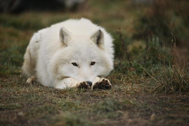 거대한 북극 수컷 늑대가 아주 가까이 있습니다.