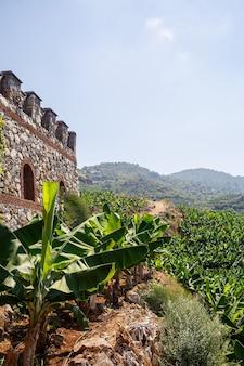 夏の晴れた日の巨大なバナナ農園。丘の中腹にある熱帯地方のバナナの木立