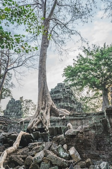 Huge banyan tree ancient angkor wat ruins panorama sunrise asia
