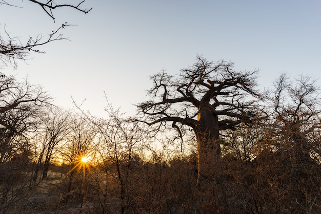Huge baobab plant in the african savannah with sunburst.
