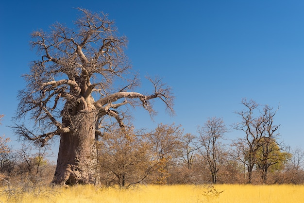 Huge baobab plant in the savannah with clear blue sky