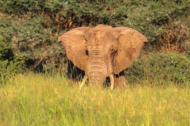 Огромный босс. красный слон из тарангире. танзания, африка