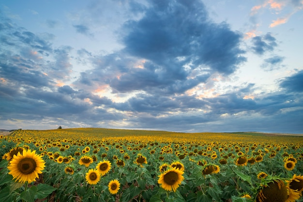 Huge field of sunflowers at sunset