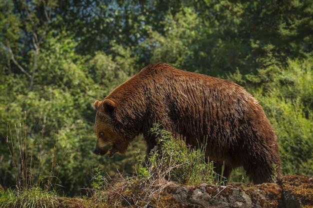 거대한 그리즐리는 고개를 숙이고 입을 벌린 채 바위 능선을 따라 산책합니다. 부드러운 표면. 모피와 곰 디테일이 샤프