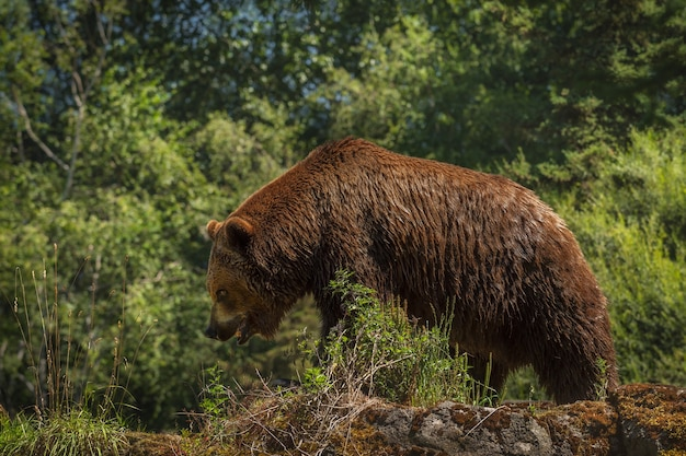 Huge grizzly strolls along a rocky ridge with his head down and mouth open. surface soft. fur and bear details are sharp