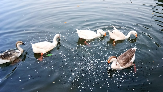 Huge herd of white geese on lake. white goose. swimming geese. domestic geese swim in the pond. flock of geese on the river
