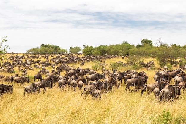 Огромные стада копытных на равнинах серенгети масаи мара, кения африка