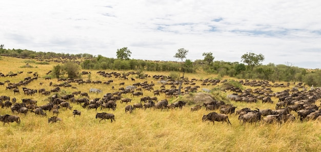 Огромные стада копытных саванна масаи мара кения африка