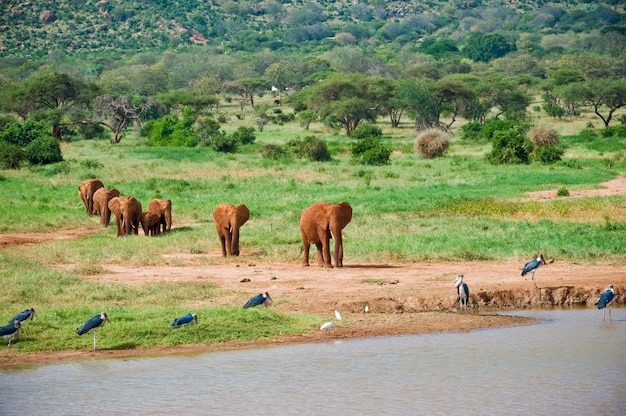 Huge male african elephant