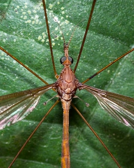 Huge mosquito perched on a tree leaf