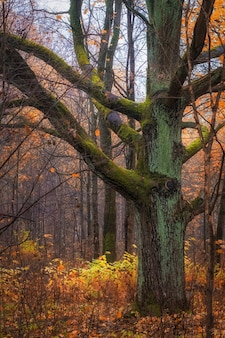 Huge old oak tree covered with moss with autumn forest