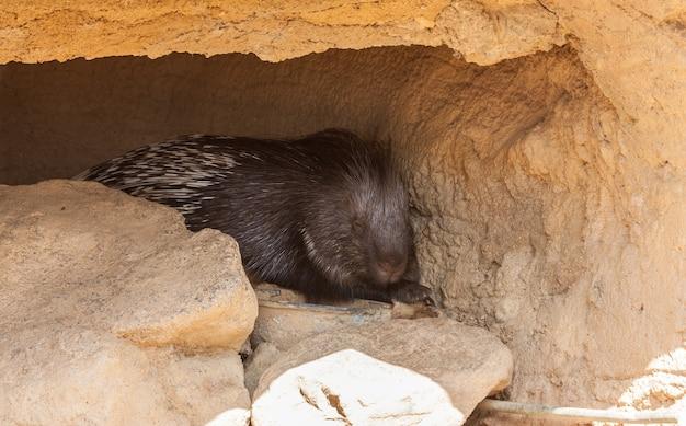 더운 날 그림자 속에서 자고 있는 거대한 고슴도치