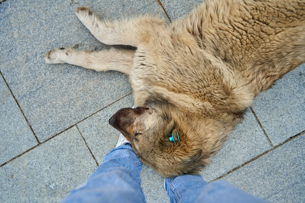 A huge stray dog fell asleep on the girl's feet. lovely homeless animals. the reason is not to go.