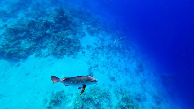 은빛 비늘을 가진 거대한 열대어가 먹이를 찾아 바다 바닥을 헤엄칩니다.