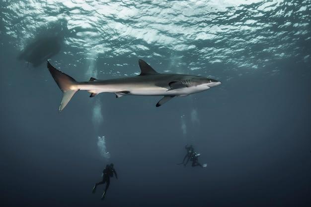 푸른 바다에 있는 거대한 백상어가 물 속에서 헤엄칩니다. 야생의 상어. 푸른 바다에서 수중 해양 생물. 동물의 세계 관찰. 멕시코 해안 코르테즈 바다에서 스쿠버 다이빙 모험