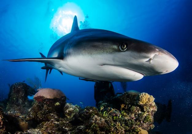 青い海で巨大な白いサメが水中を泳ぐ