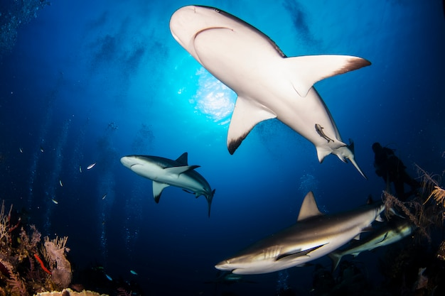 Huge white sharks in blue ocean swim underwater