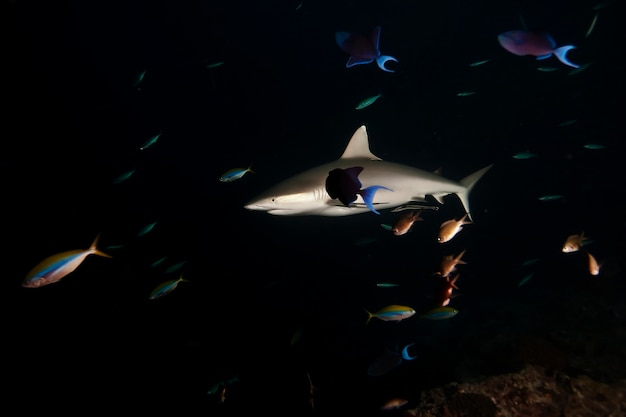 Huge white sharks in dark night ocean swims under water.