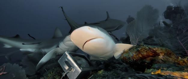 Огромные белые акулы в синем океане плавают под водой. акулы в дикой природе. морская жизнь под водой в голубом океане. наблюдение за животным миром. подводное плавание с аквалангом на карибах, побережье кубы