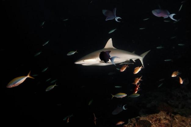 Огромные белые акулы в темном ночном океане плавают под водой. акулы в дикой природе. морская жизнь под водой в голубом океане. наблюдение за животным миром. подводное плавание с аквалангом на карибах, побережье кубы